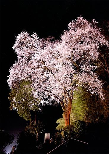 天正寺の夜桜