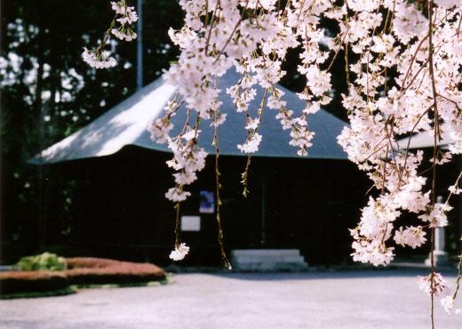 報恩寺の枝垂桜