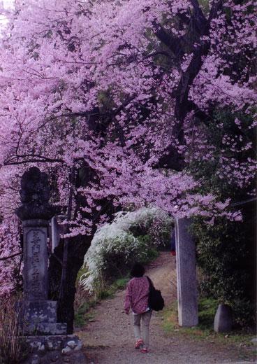 誘われて桜道