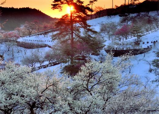 朝日に輝く梅郷