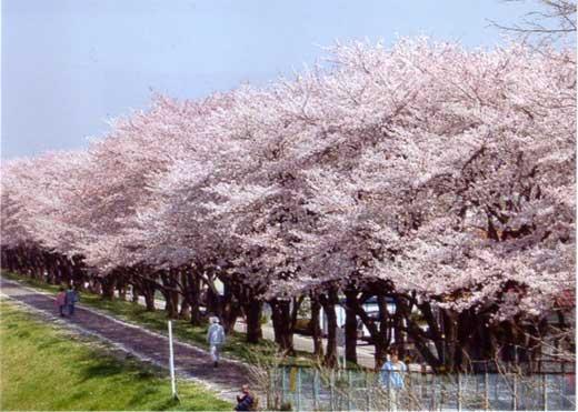 桜満開多摩川堤