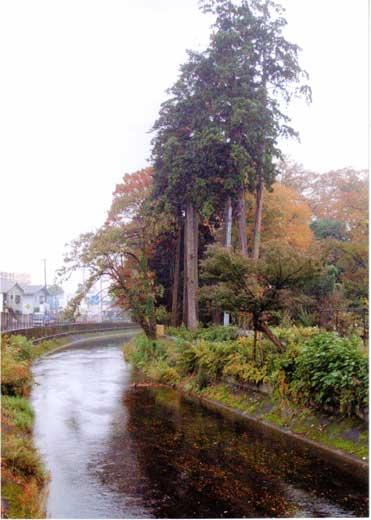 秋の玉川上水