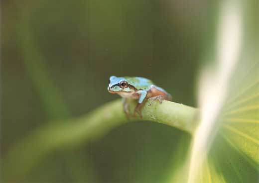幻の青いカエルと蓮