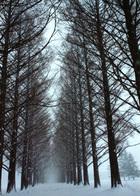 第13回 入選 雪のメタセコイヤ並木