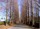 第4回 入選 冬のメタセコイア並木