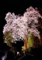 第15回 伊吹グループ賞(高校写真部奨励賞) 天正寺の夜桜
