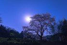 第16回 婦人部門賞(大多摩ハム賞) 月光桜