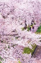Oh!多摩 大多摩ハム賞 満開の散歩道