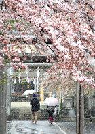 Oh!多摩 入選 桜隠し