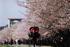 第5回 入選 「桜も満開、人力車も軽快」