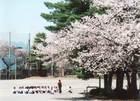 第10回 田村酒造賞 満開の桜の木の下で屋外授業