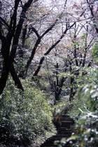 第4回 入選 桜の散歩道